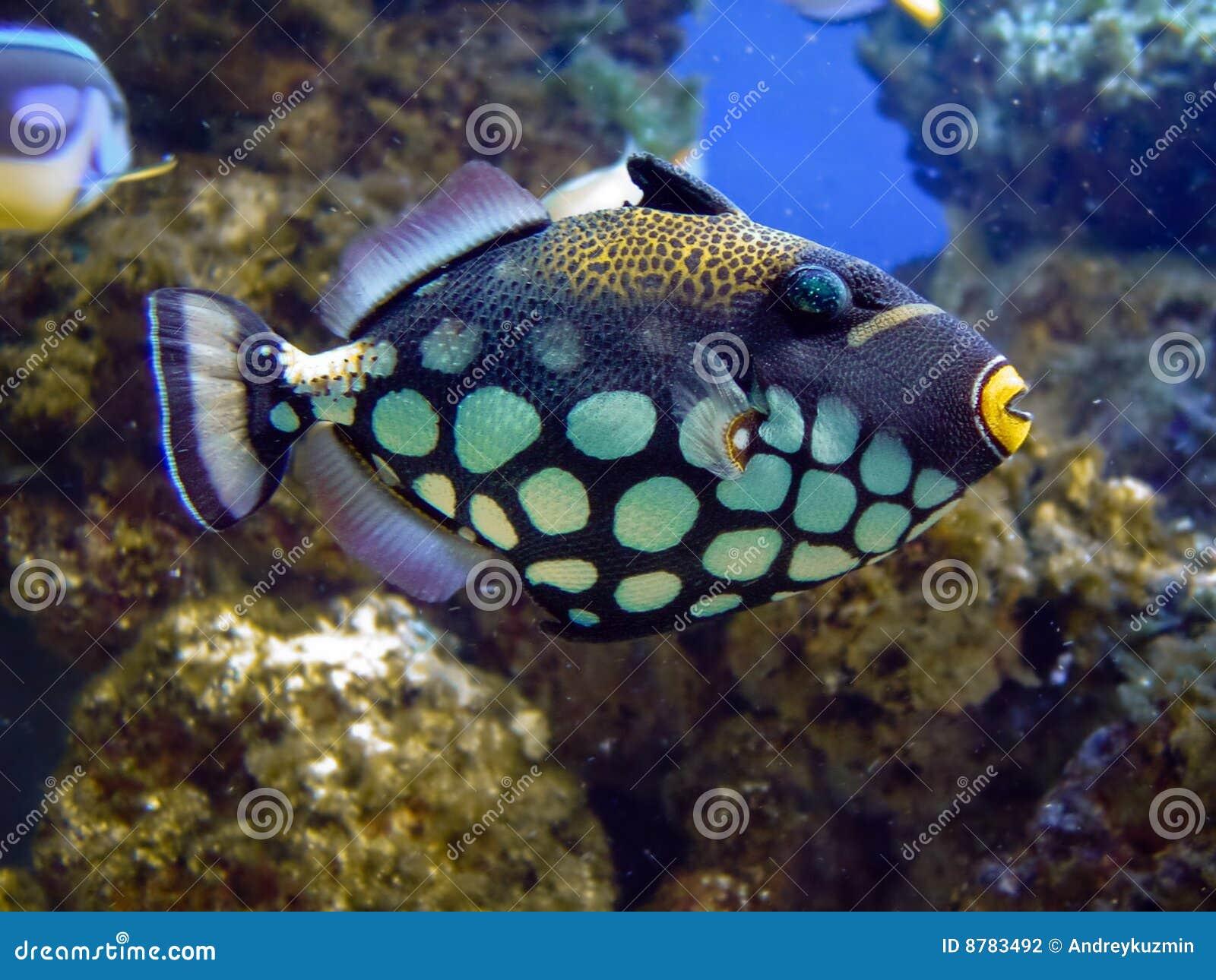Balistidaecloseupfisk
