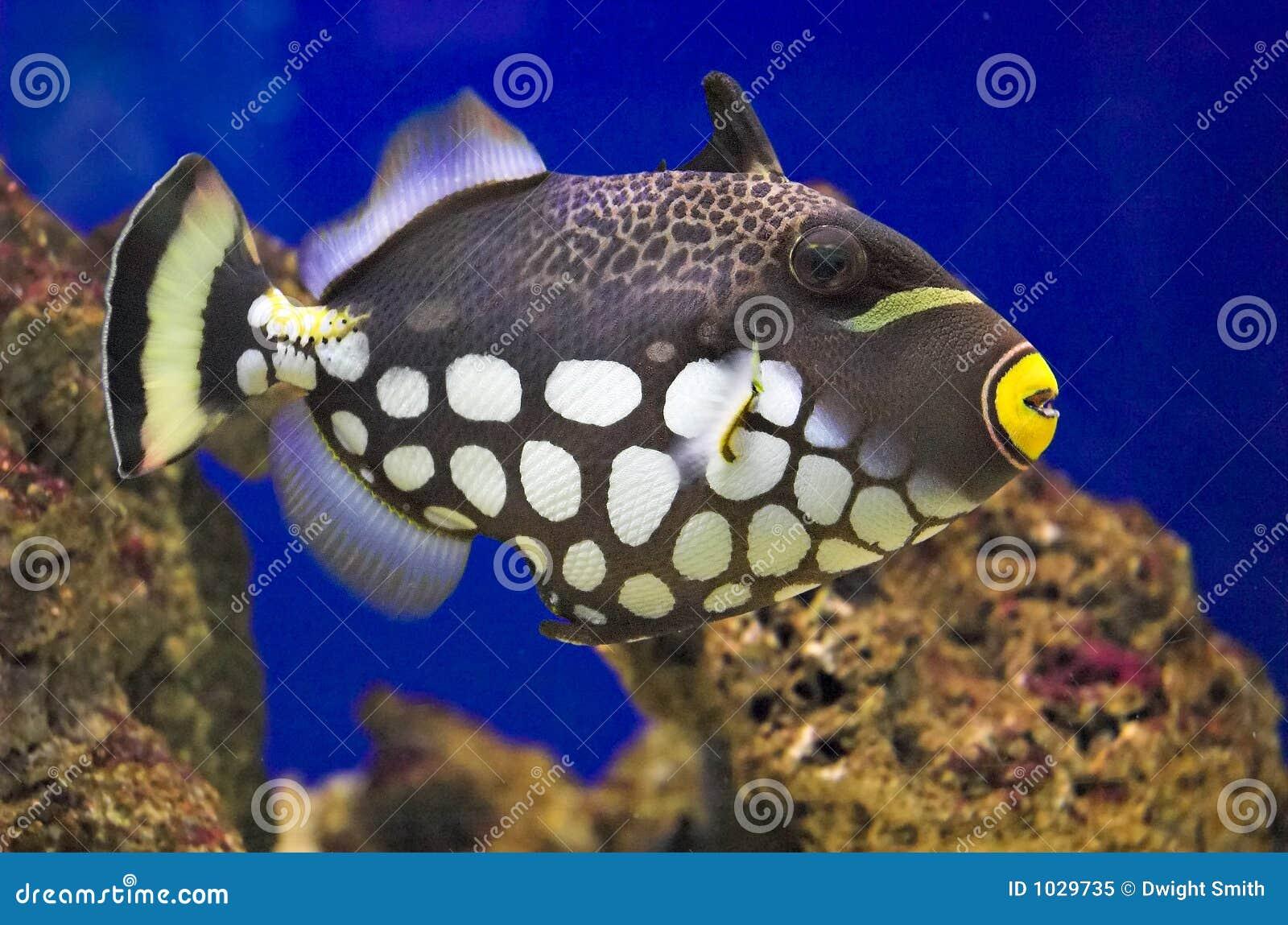 Balistoides conspicillum κλόουν triggerfish