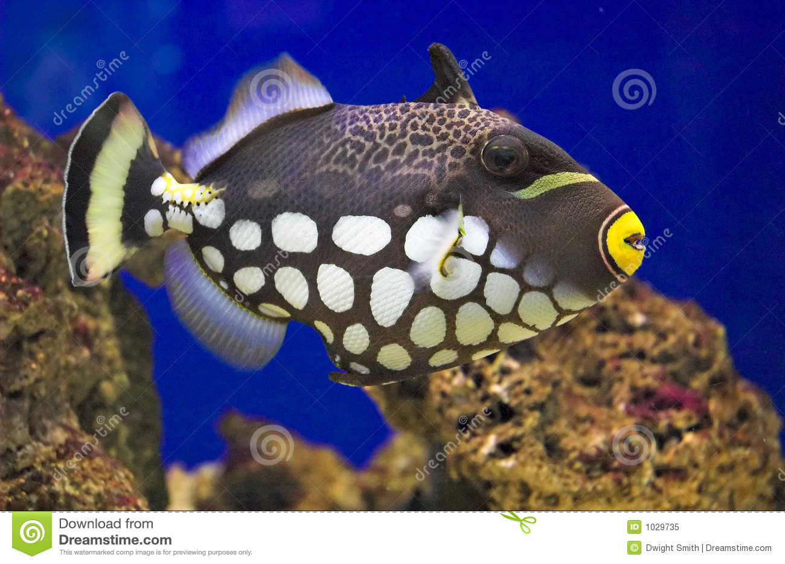 Balistoides conspicillum clown triggerfish royalty free for Clown fish price