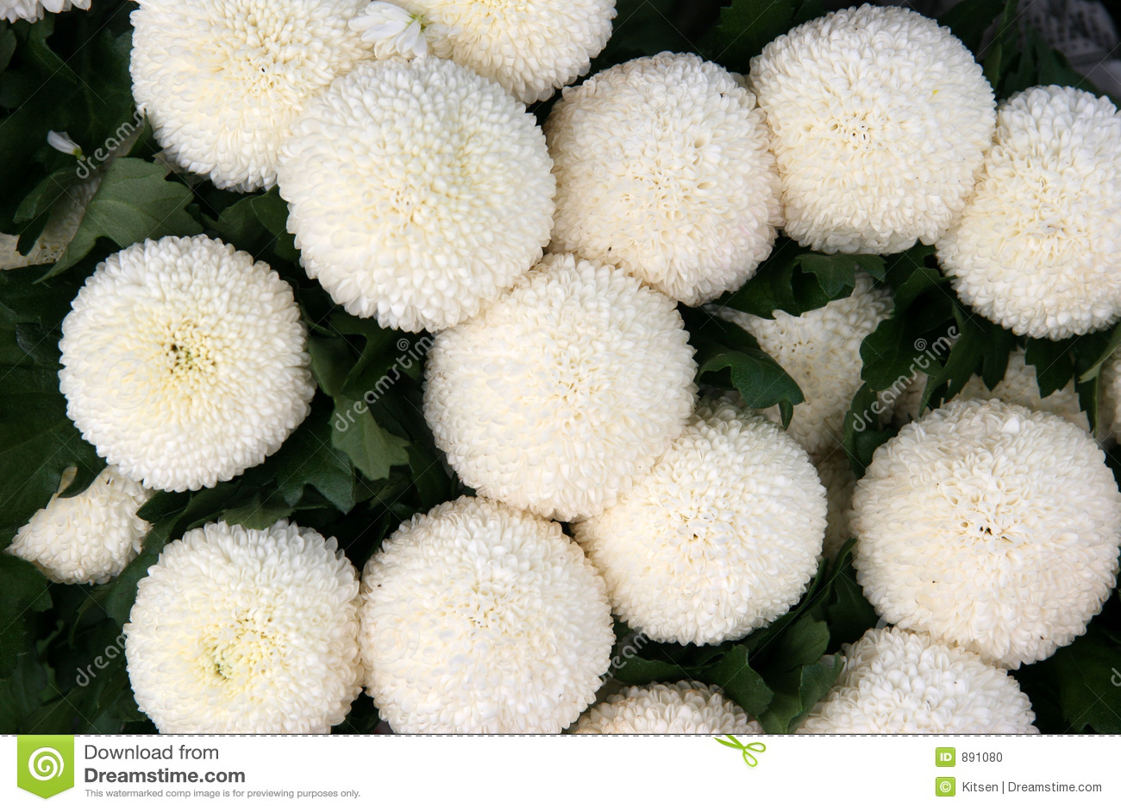 Ball chrysanthemums stock photo image of bloom farmed 891080 ball chrysanthemums mightylinksfo