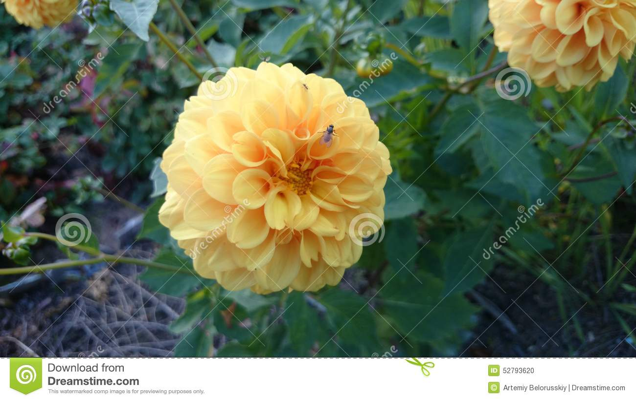 Ball Dahlias Stock Photo Image Of Spherical Ball Dahlias 52793620