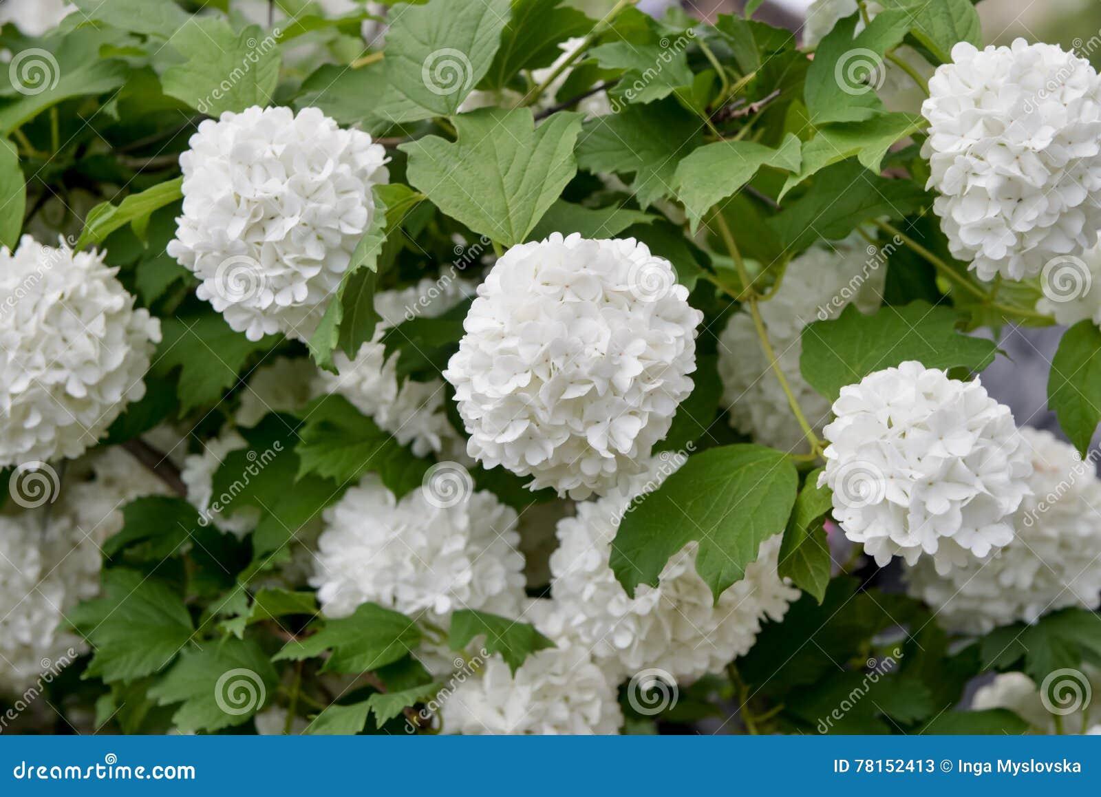 Ball Inflorescence Viburnum Bush White Flowers Stock Photo