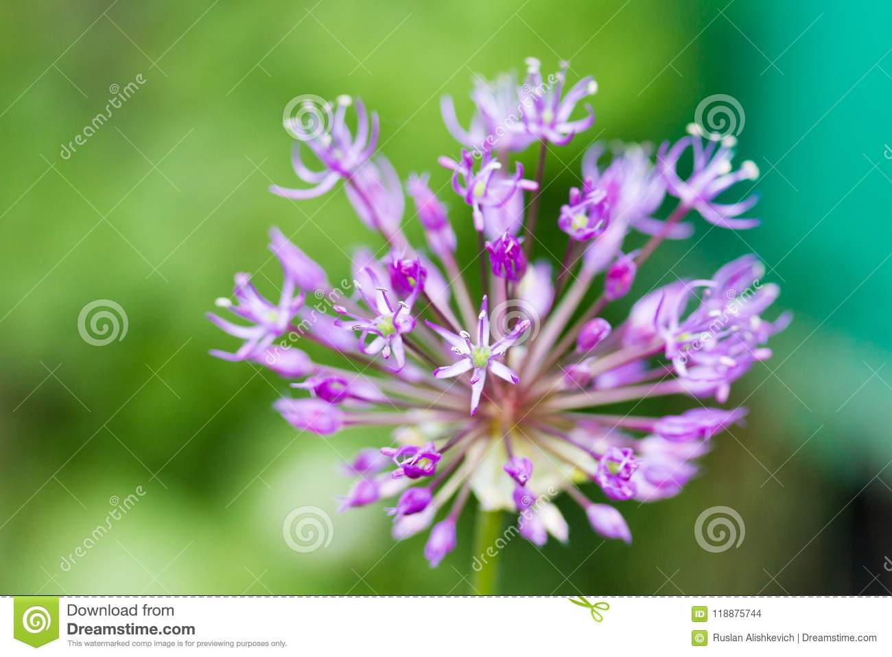 Purple Ball Of Spring Flowers Stock Photo Image Of Desktop Nature