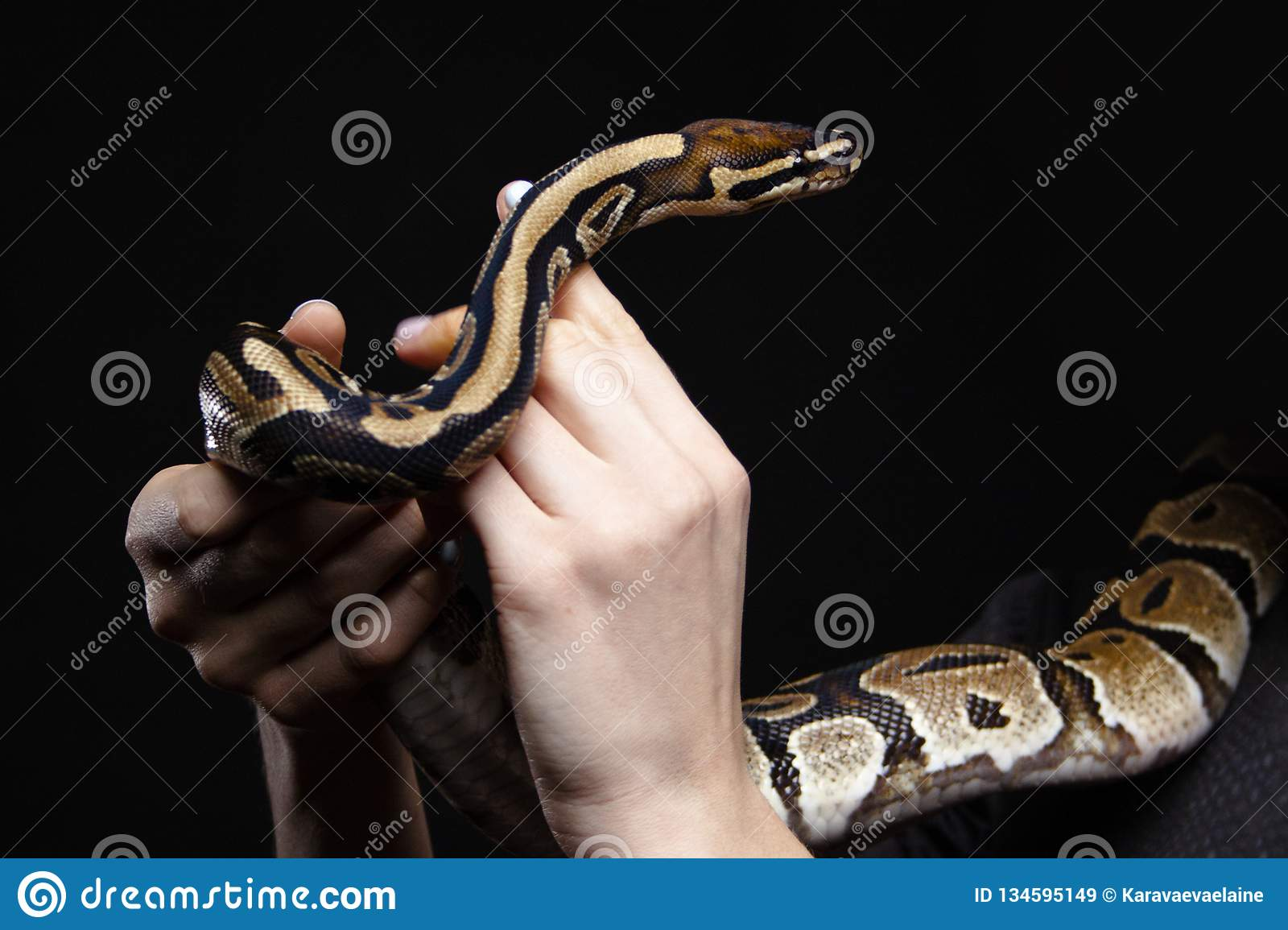Ball python in woman hands