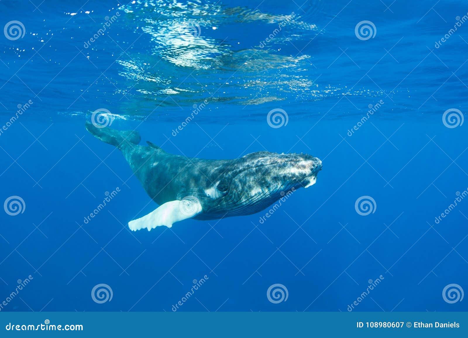 Ballena jorobada en agua azul