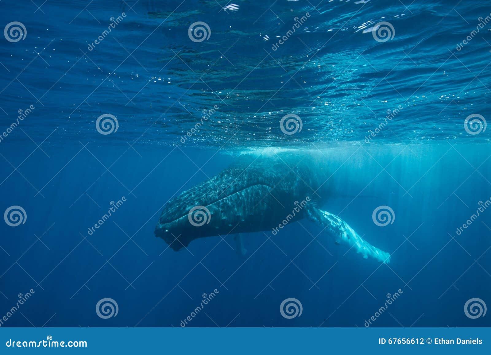 Ballena jorobada en la superficie