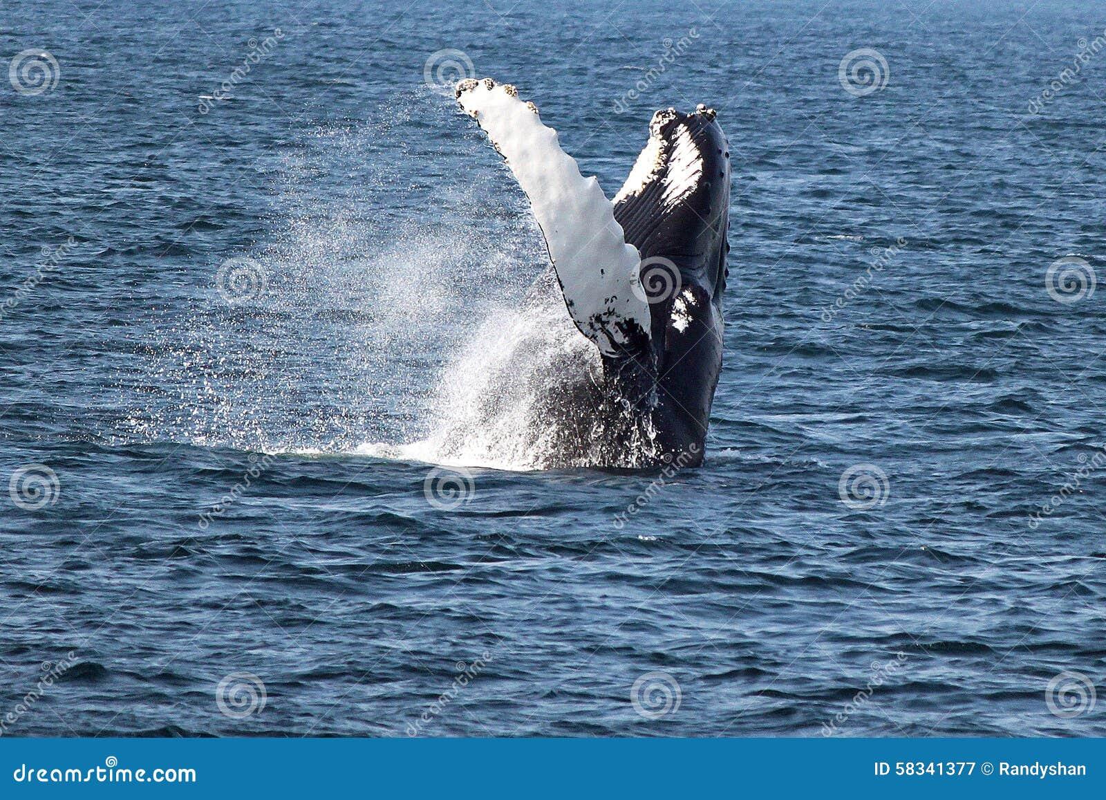 Ballena jorobada en Océano Atlántico