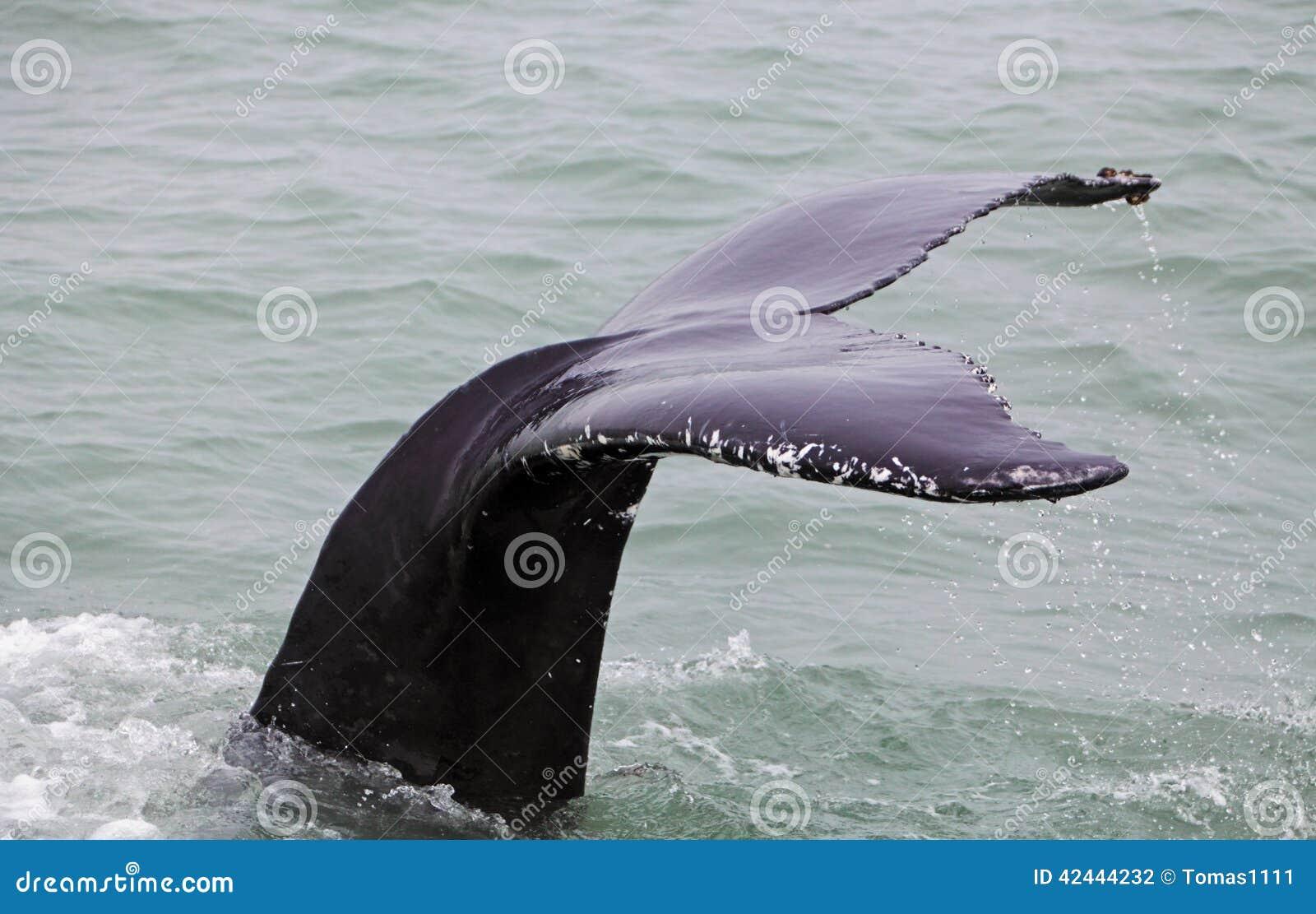 Ballena jorobada (novaeangliae del Megaptera) vista del barco cerca
