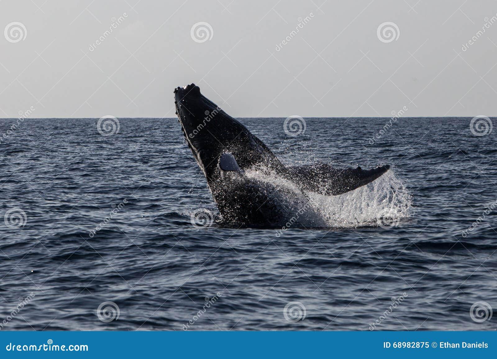 Ballena jorobada que viola en el océano