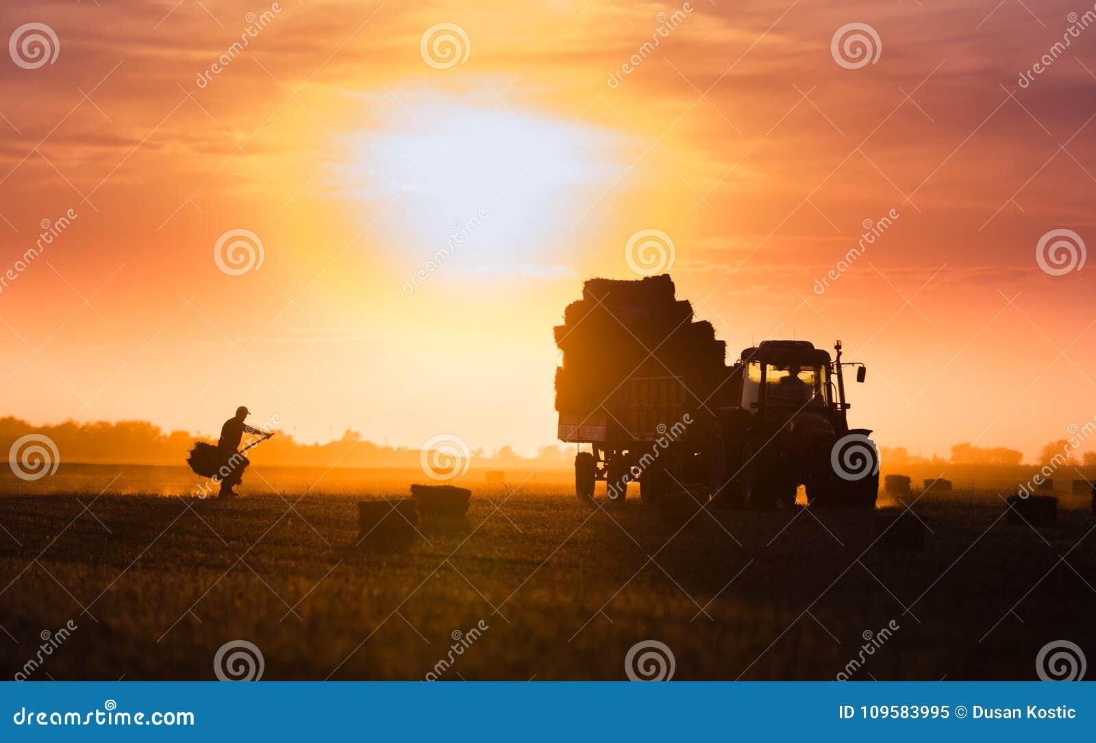 Balles de foin de jet d agriculteur dans une remorque de tracteur