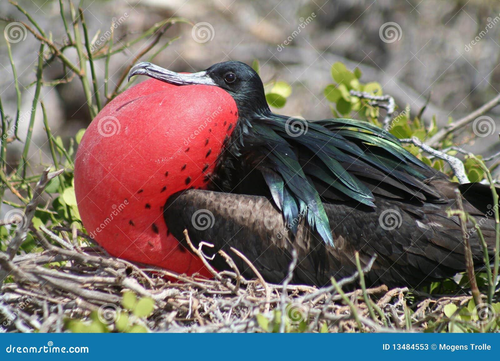 Ballongskärmfrigatebird stora galapagos