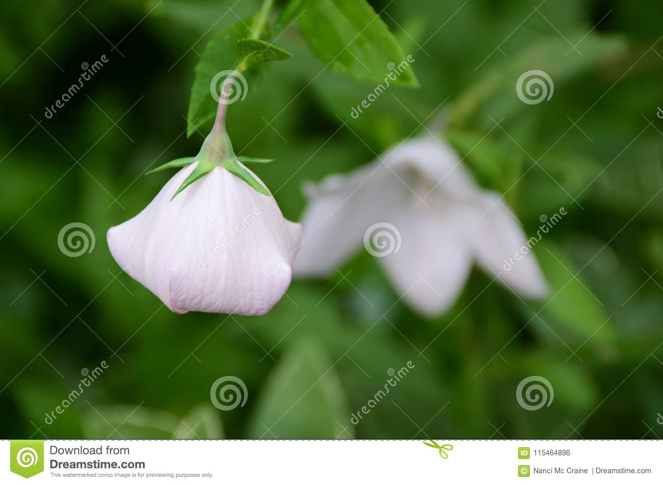 Balloon Flower Closed And Open Perennial Plant Stock Photo Image
