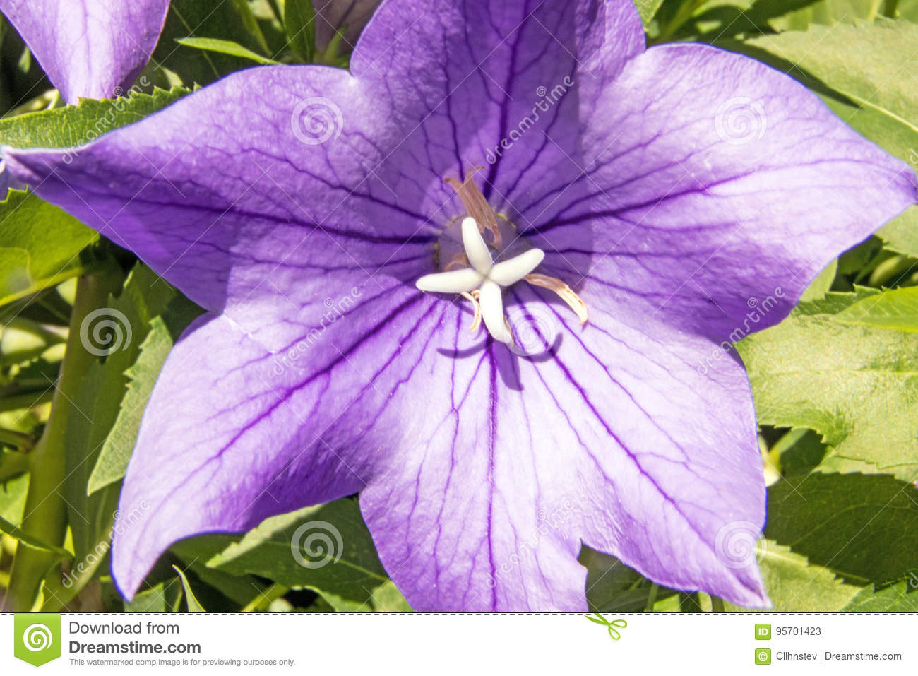 Balloon Flower Stock Image Image Of Grandiflorus Parts 95701423