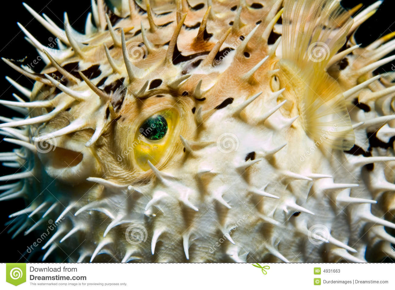 Balloonfish inflated