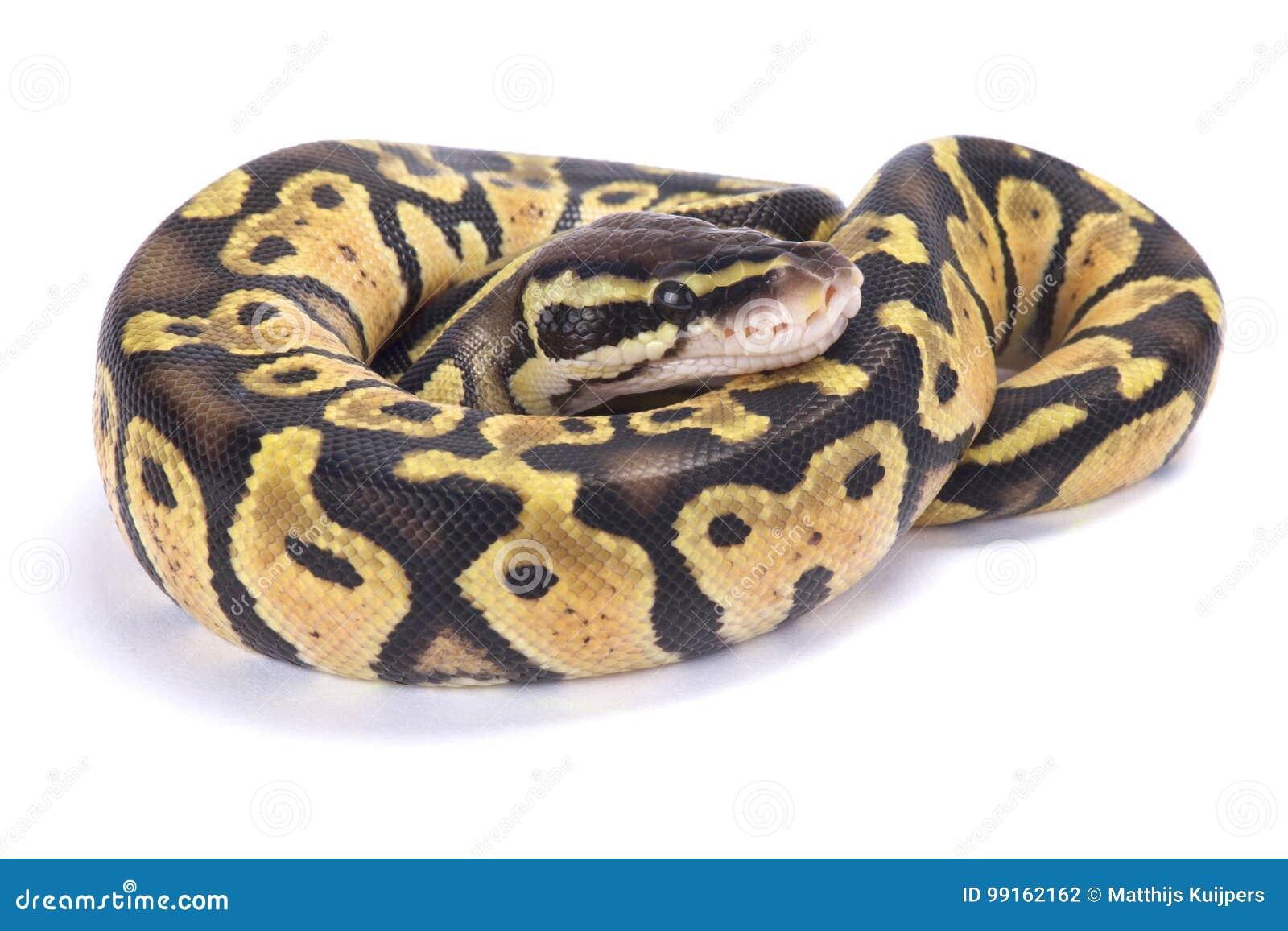 Ballpythonschlange, Pythonschlange königlich
