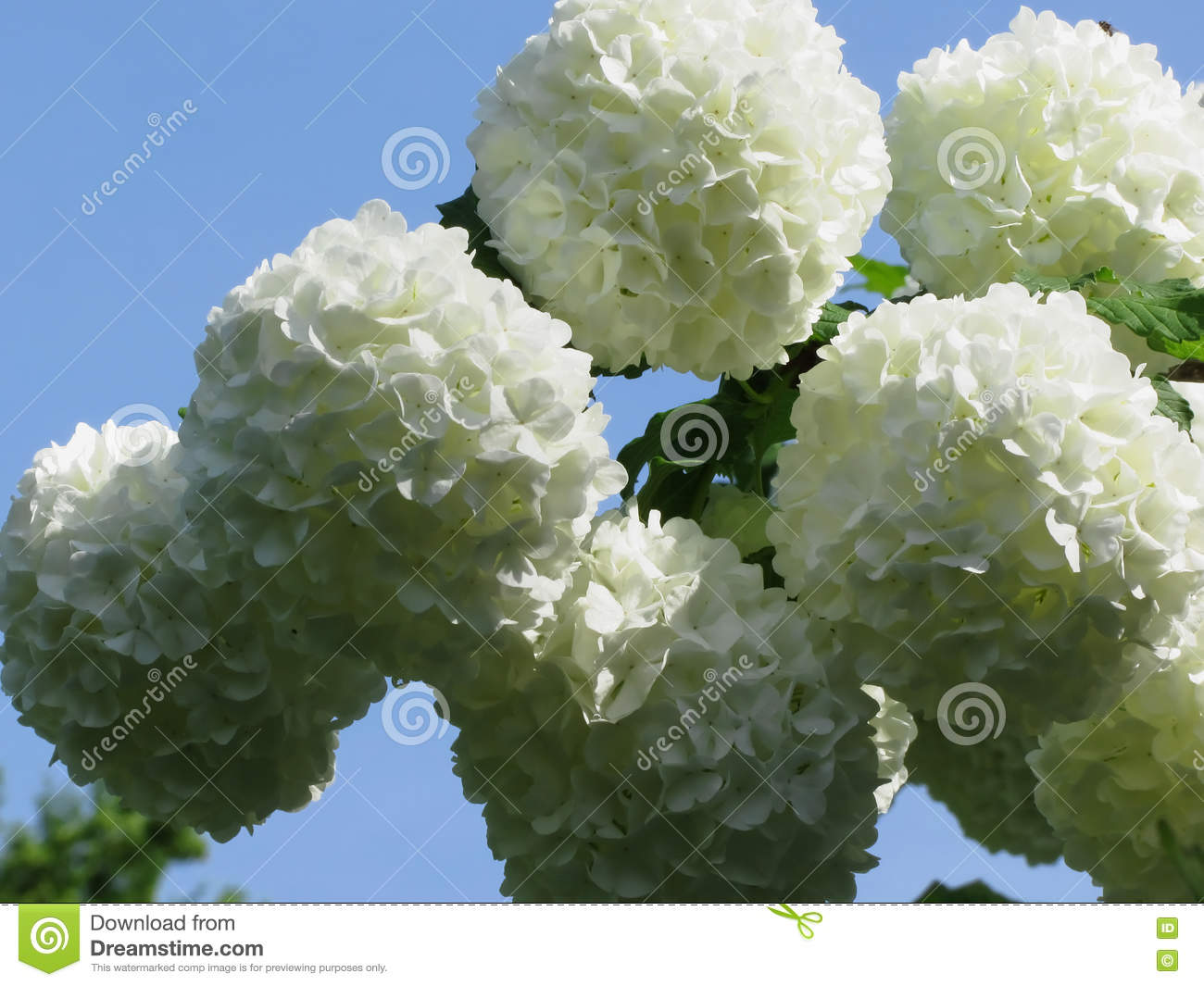 balls of white hydrangea flowers stock photo  image, Natural flower