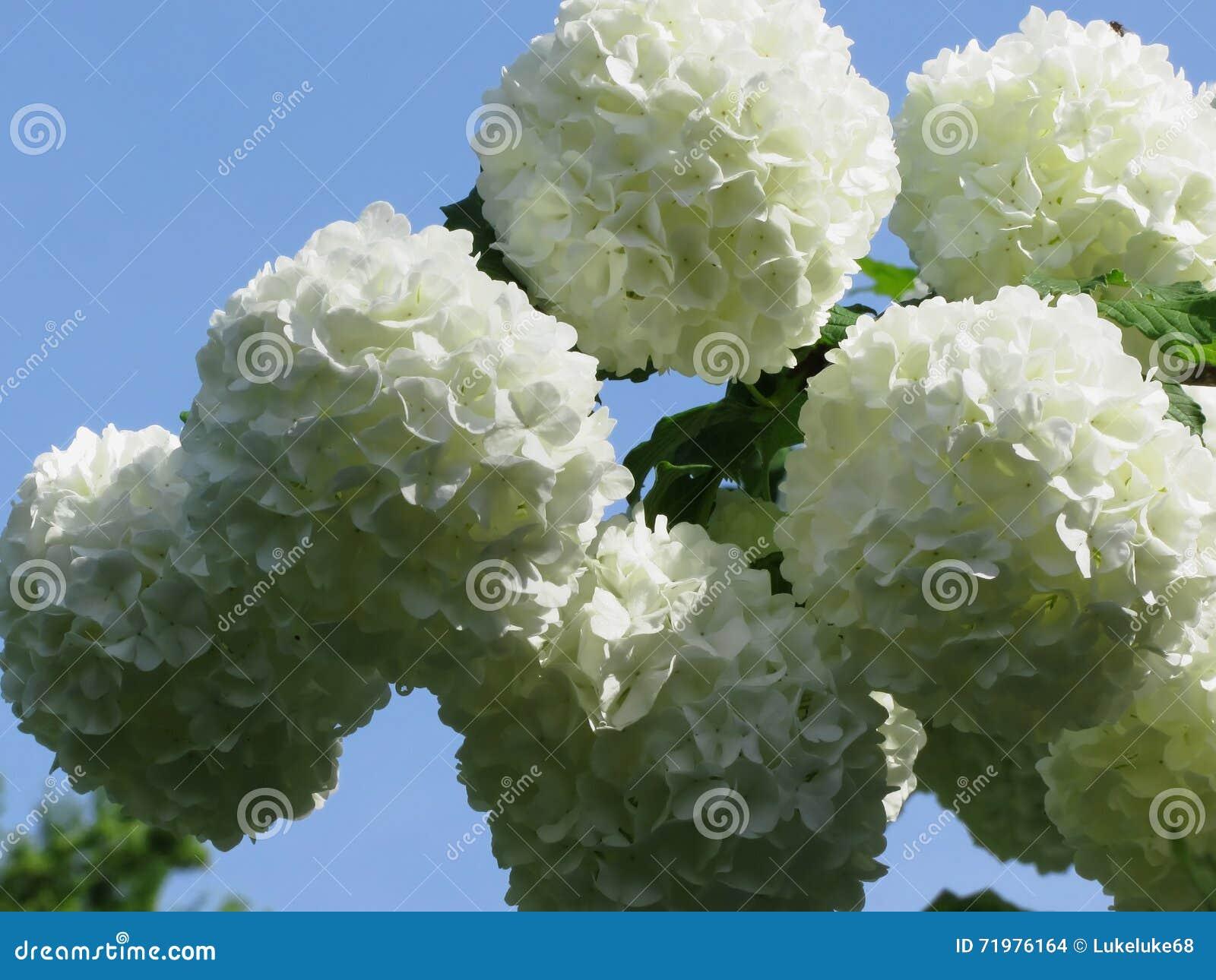 balls of white hydrangea flowers stock photo  image, Natural flower