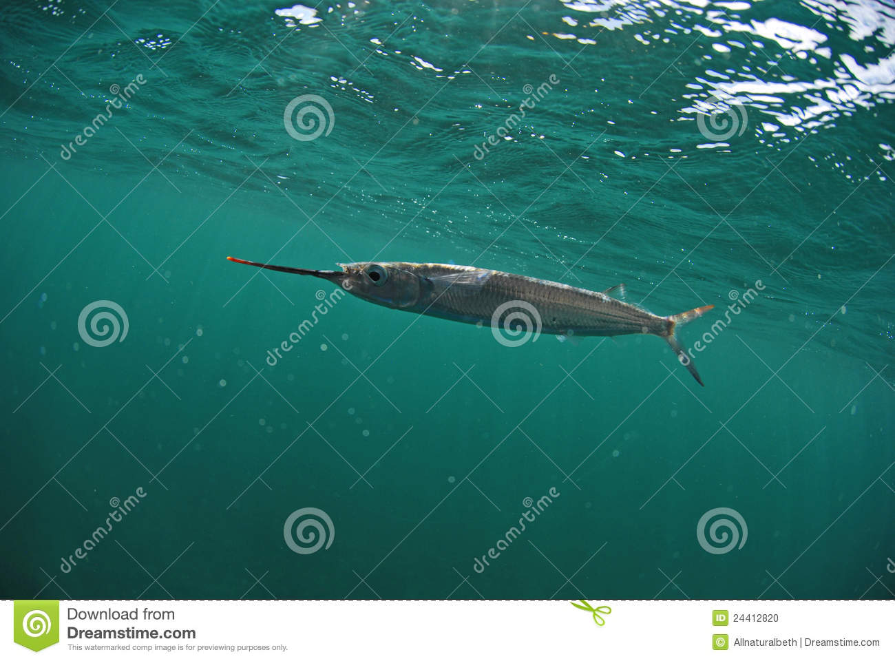 Ballyhoo fish swimming in ocean stock photo image 24412820 for Dream of fish swimming