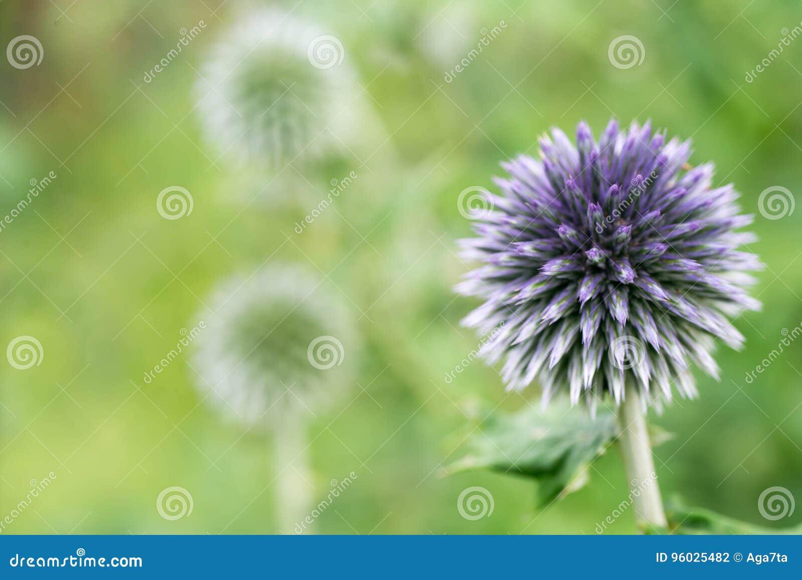 Balowego kształta kwiatu selekcyjna ostrość makro-