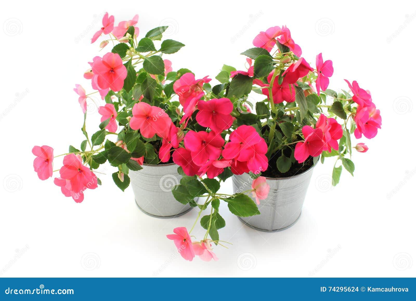 I fiori della balsamina fiori idea immagine for I fiori della balsamina