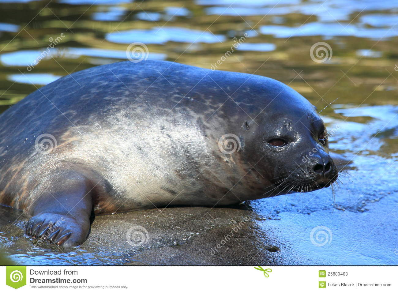 Is A Ringed Seal A Carnivore