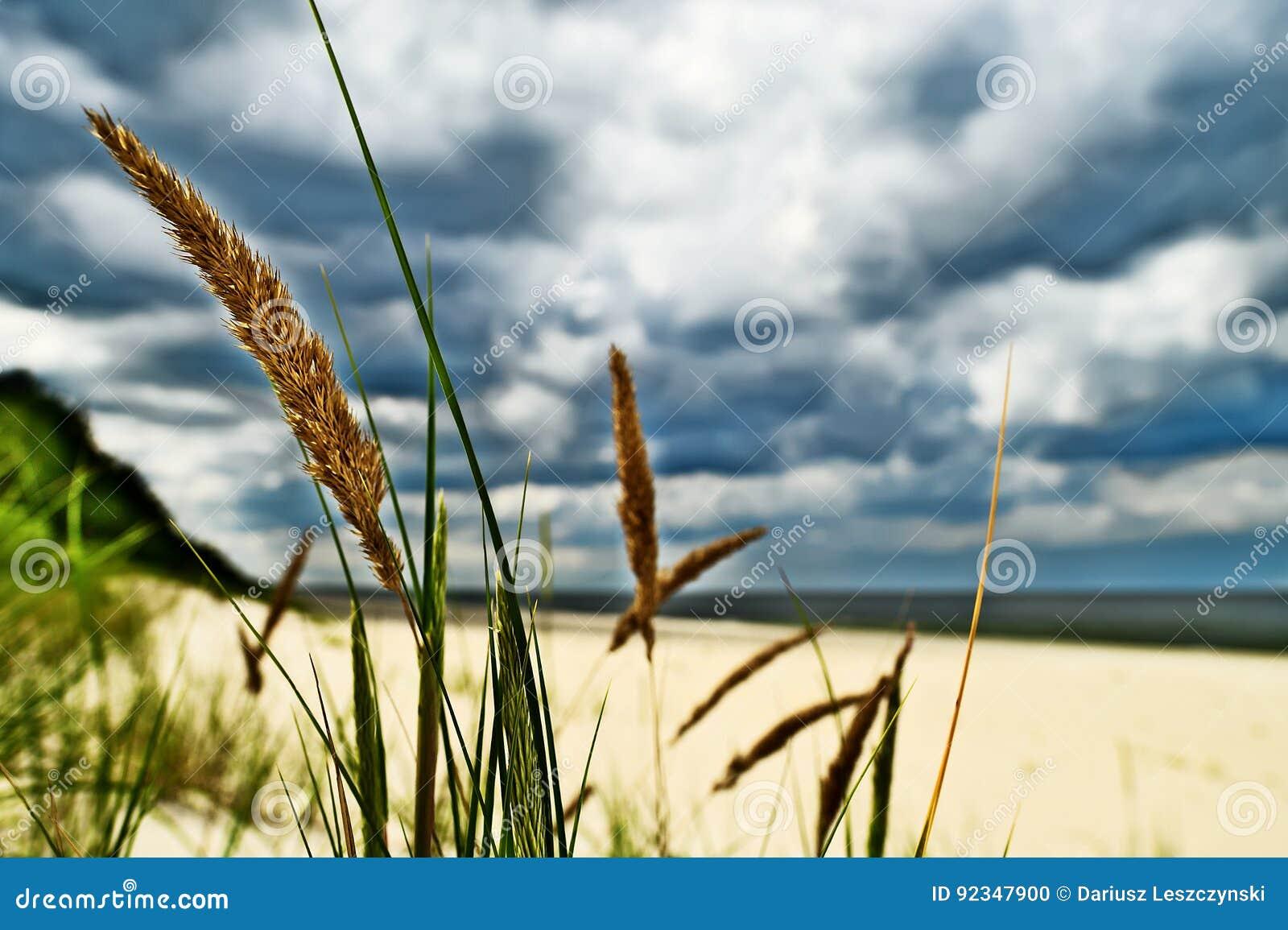 Baltica di calammophila della pianta dell 39 erba che cresce - Alla colorazione della spiaggia ...