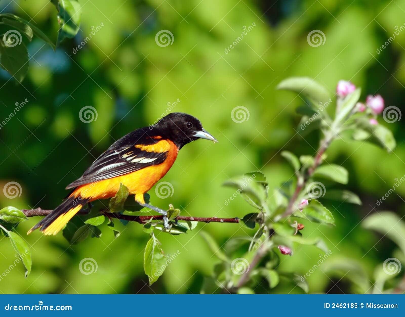 Baltimore Oriole bird