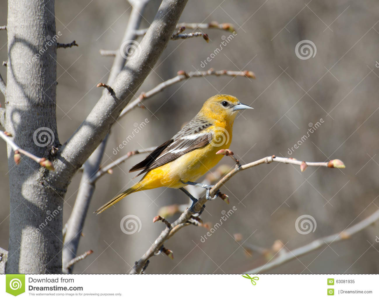 Download Baltimore Oriole femelle image stock. Image du jaune - 63081935