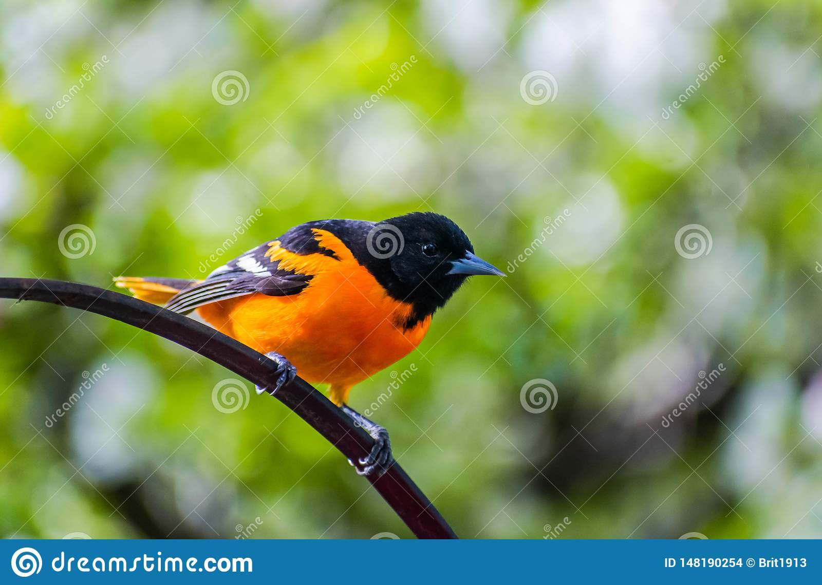 Baltimore Oriole - Midwest Bird