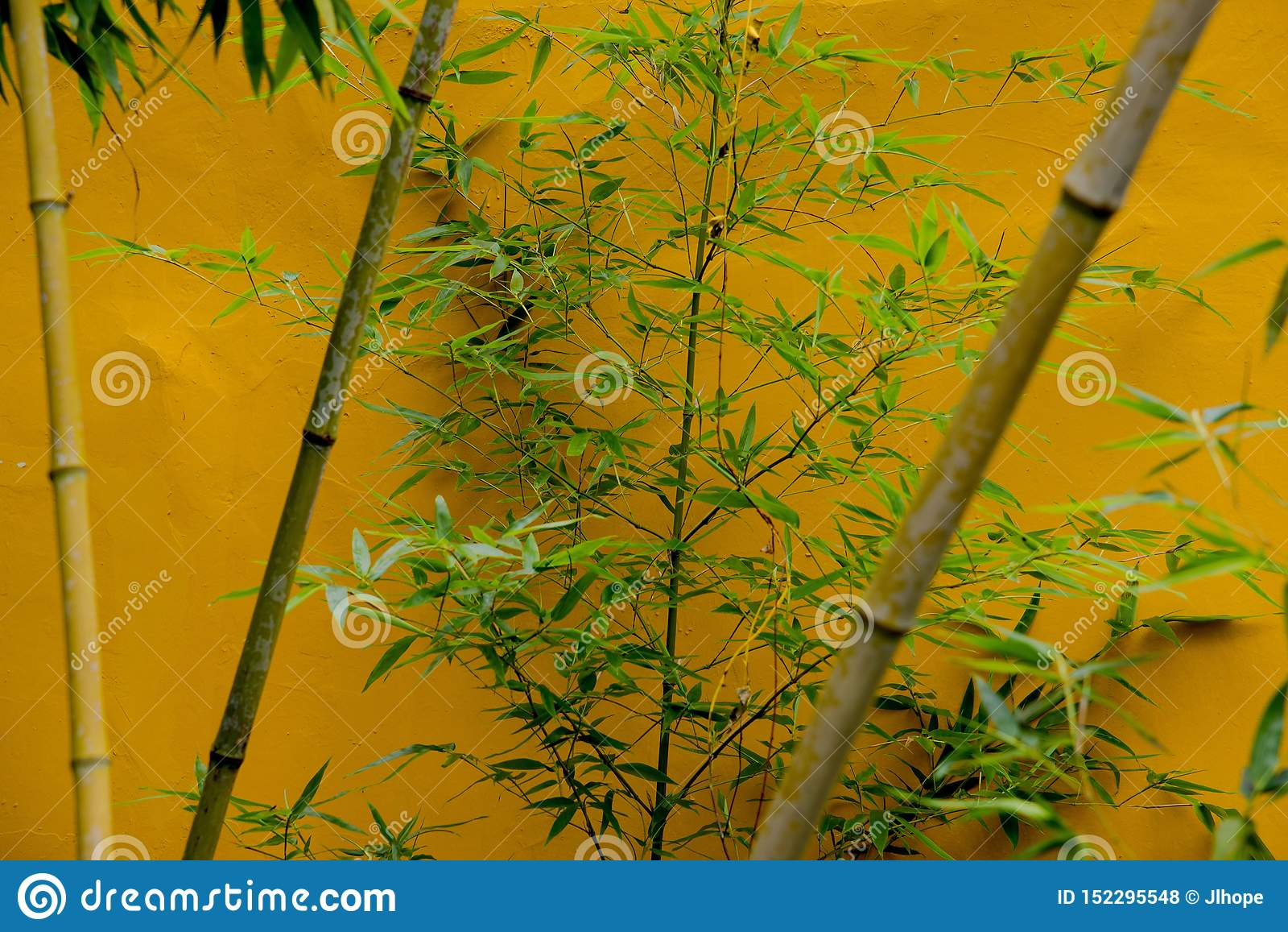 Bambù contro la parete gialla