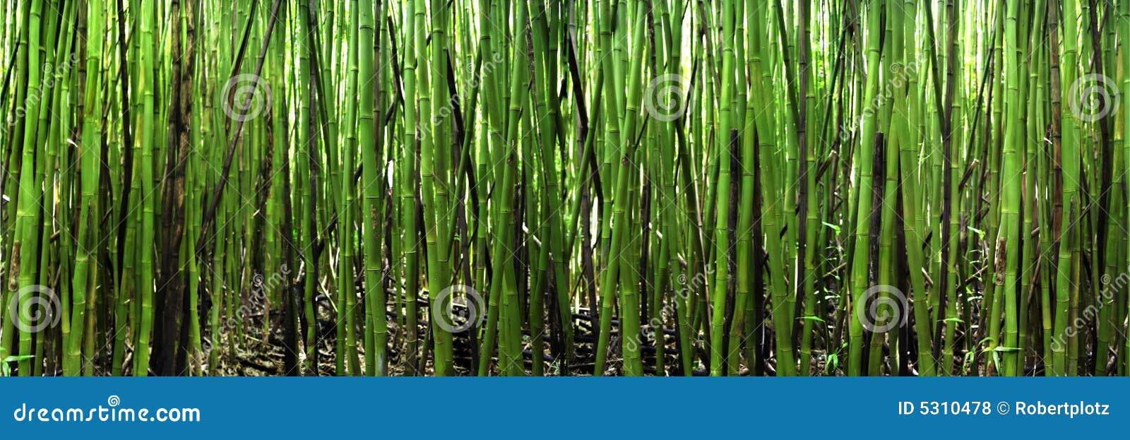 Download Bambù panoramico fotografia stock. Immagine di panoramico - 5310478