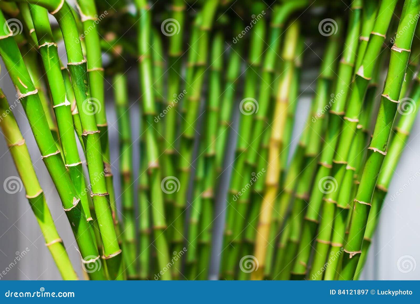 Caa Bambu Decoracion Simple Cheap Bamb El Material En Boga Para  ~ Cañas De Bambu Verdes Para Decorar