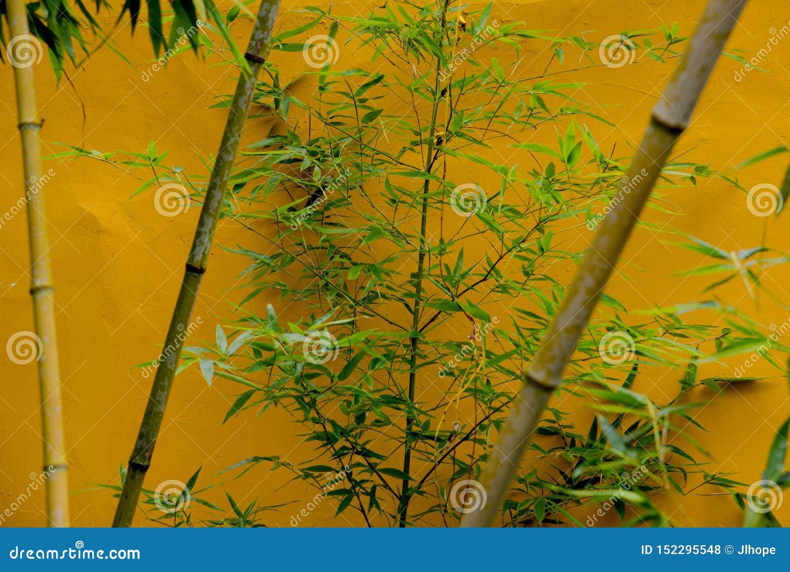 Bambúes contra la pared amarilla