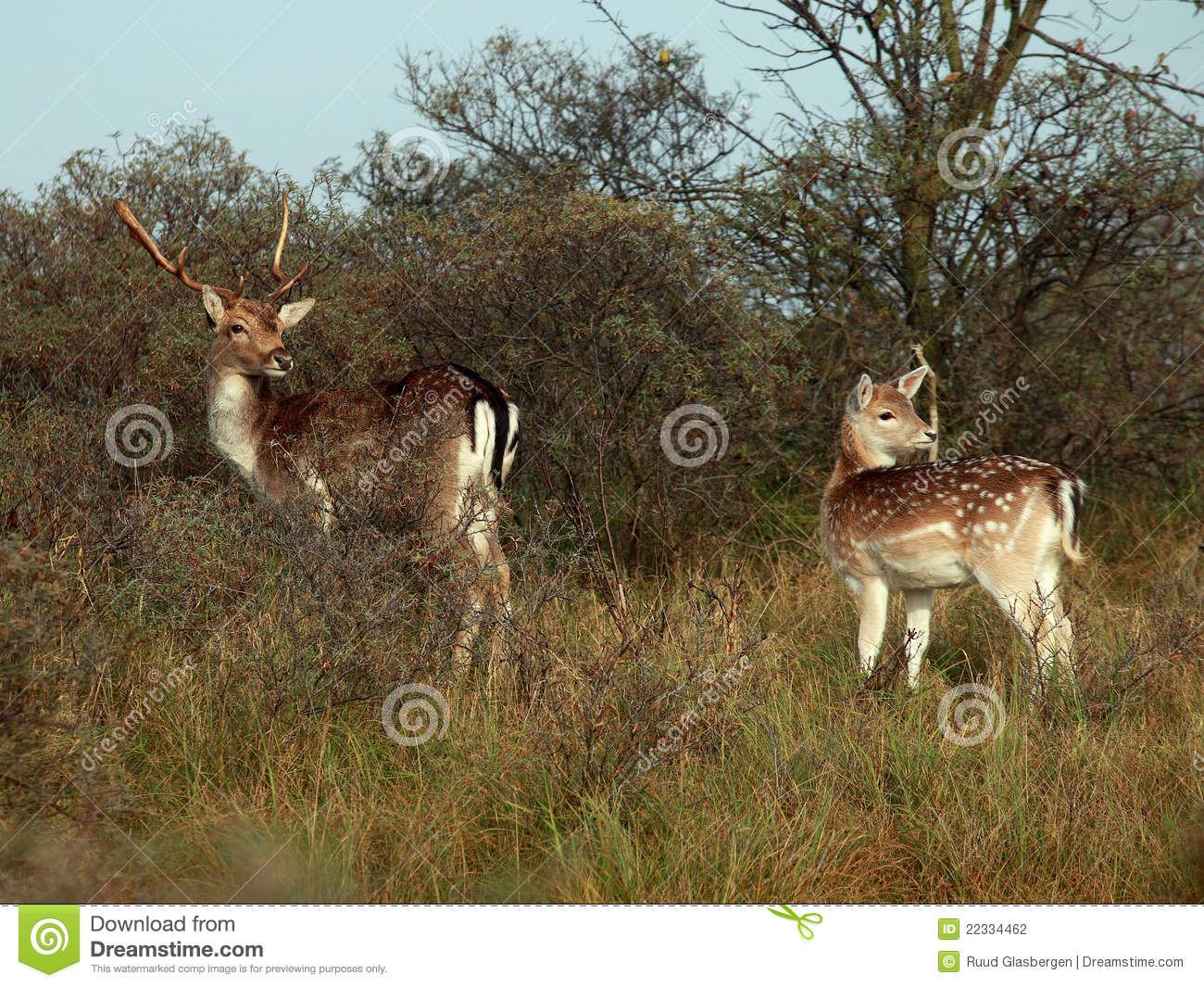 bambi in the woods stock photo. image of dama, fallow - 22334462