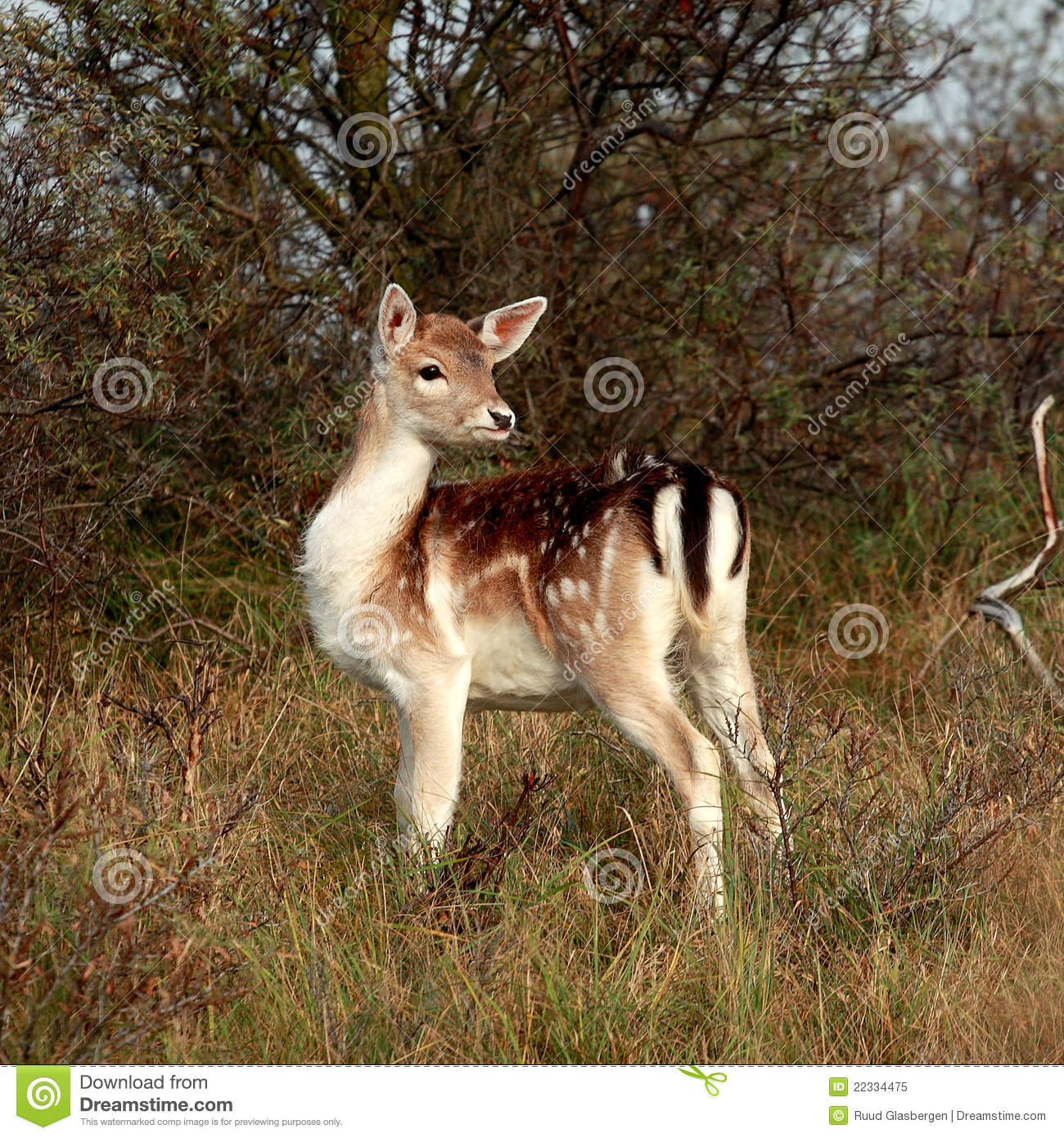 bambi in the woods stock image. image of sweet, deer - 22334475