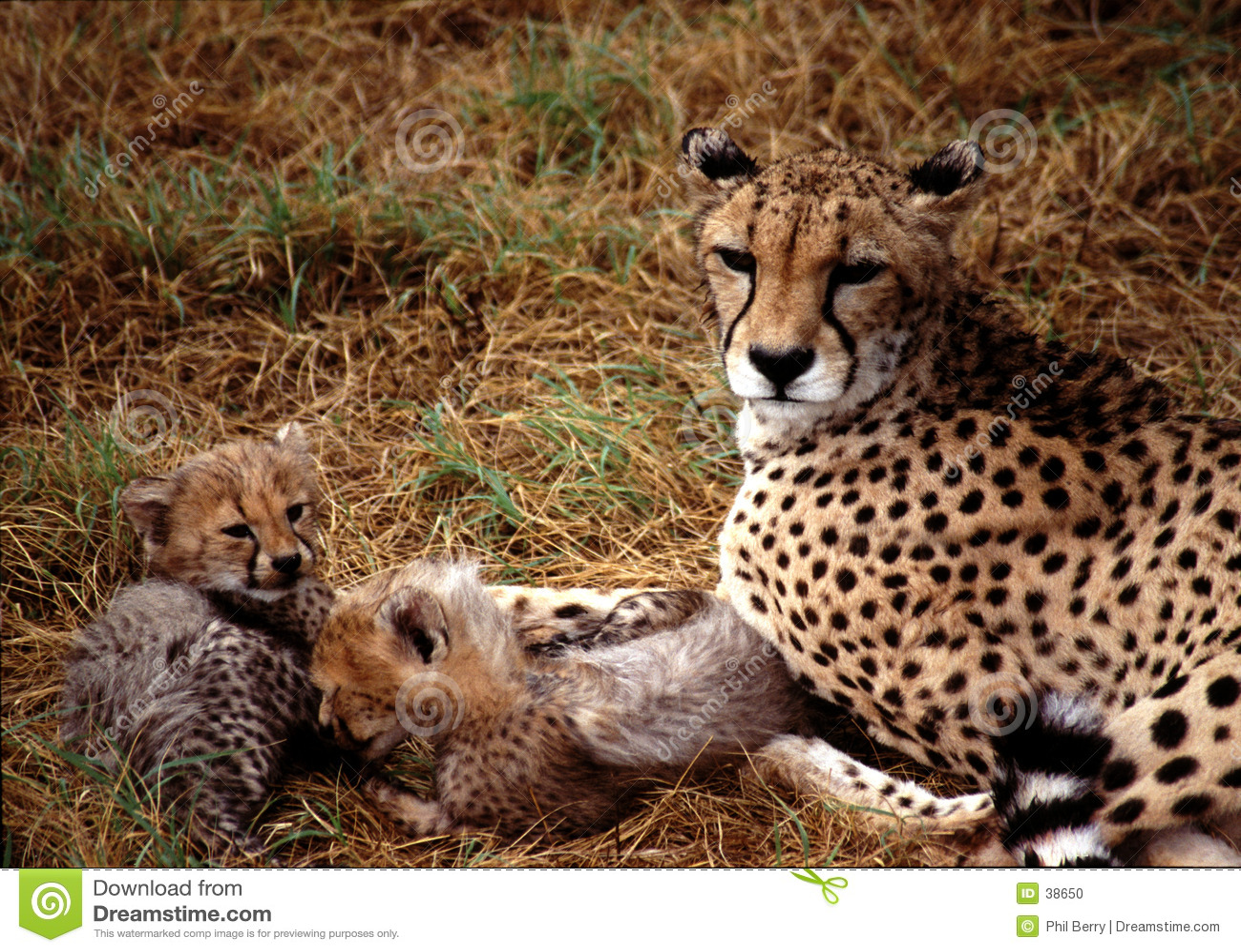 Bambini del ghepardo
