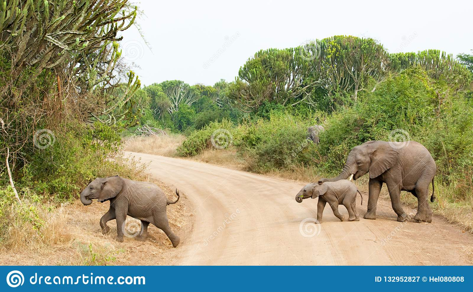 Bambino dell elefante guida tramite la madre mentre attraversando un percorso in bella regina Elizabeth National Park, Uganda