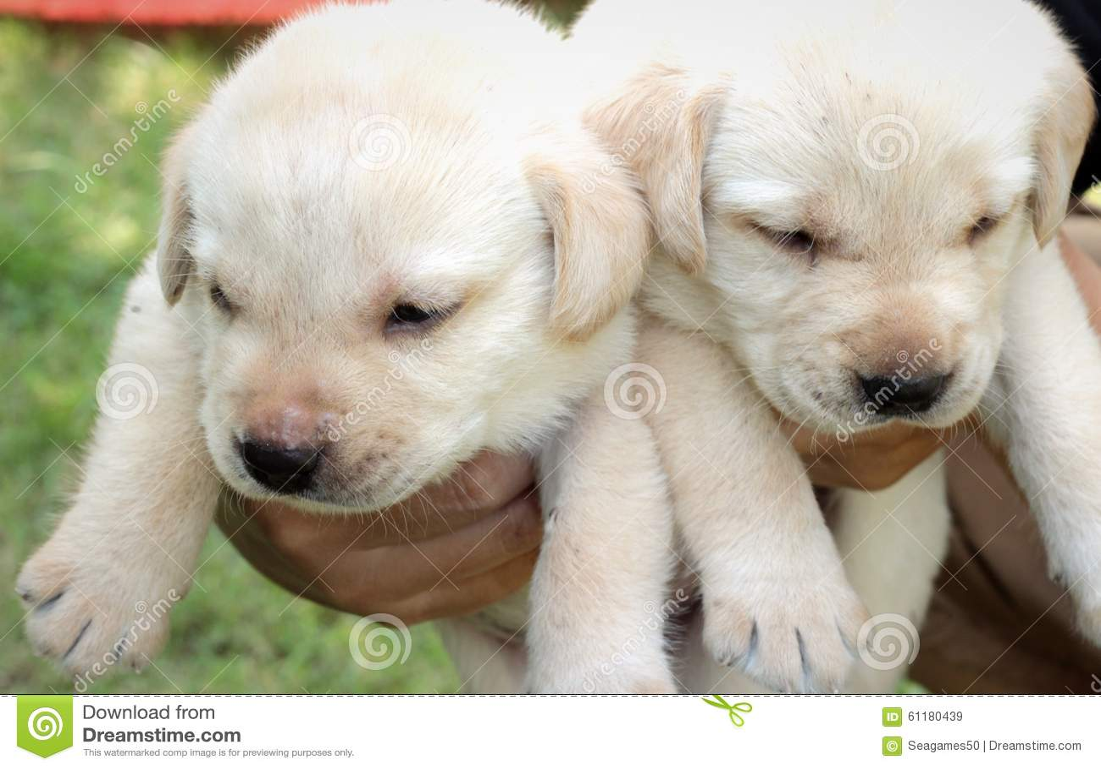 Bambino di un mese sveglio del cucciolo di Labrador