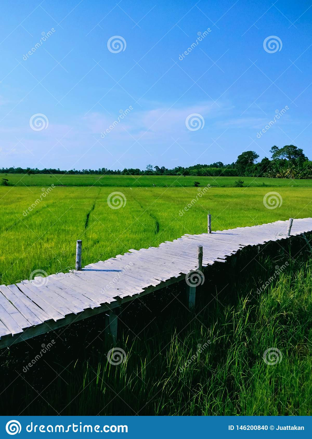 Bamboo bridge in middle of rice fields