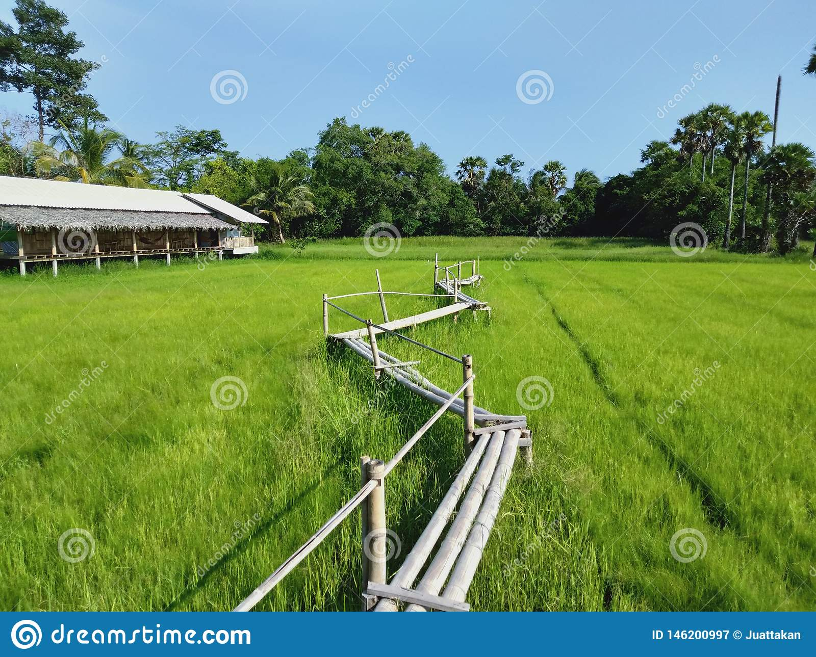Bamboo bridge in the middle of rice fields