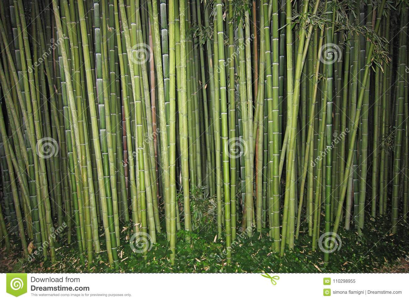 Bamboo Evergreen Perennial Flowering Plants Stock Image Image Of