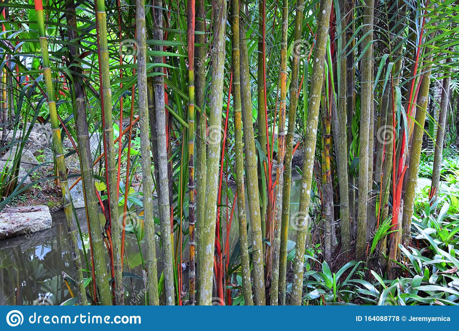 Bamboo Forest Background Multi Color Bright Red Gree Orange Yellow Bamboo Plant Bamboo Trees In Wood On Resort In Phuket Tha Stock Photo Image Of Detail Chinese 164088778