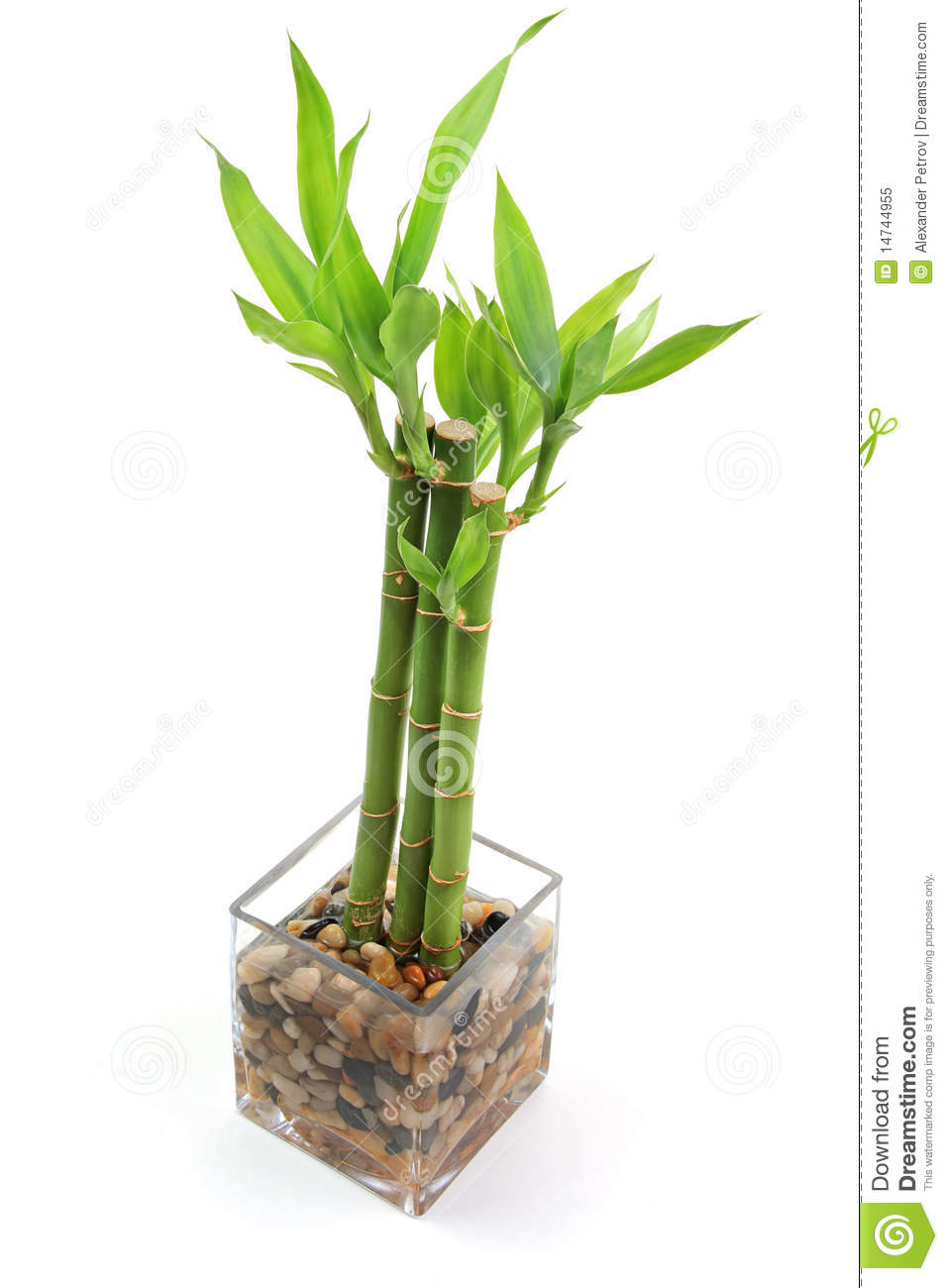 how to raise a bamboo plant