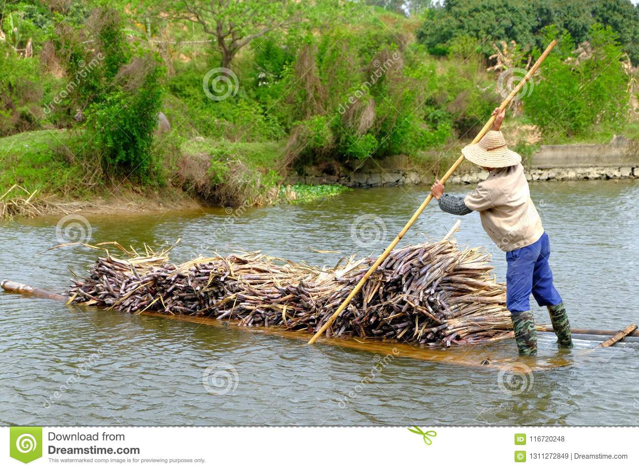 Carrying sugarcane by a bamboo raft