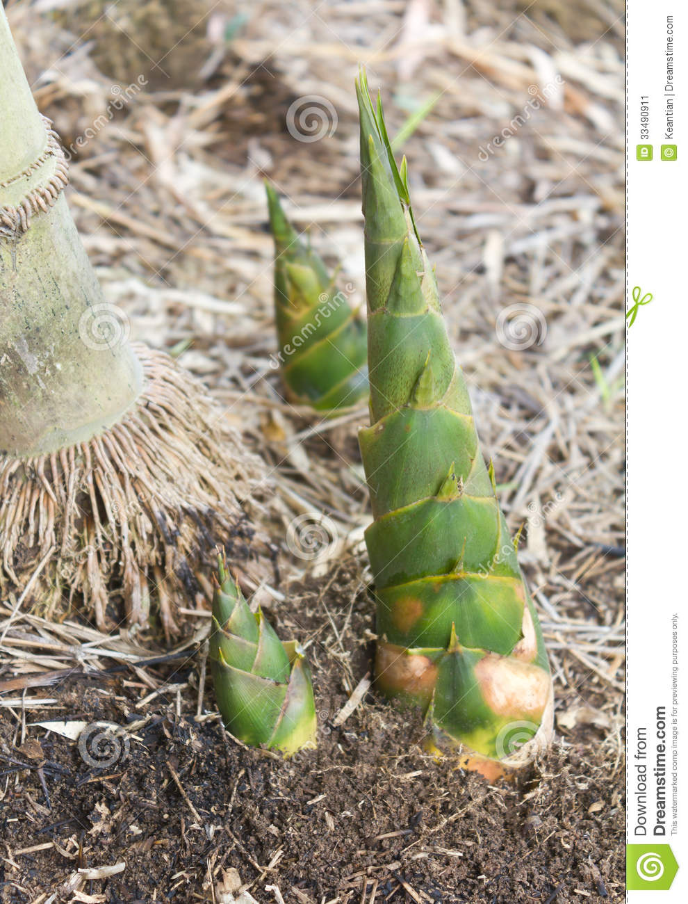 ... shoots, which thrust up from the ground to grow into a clump next