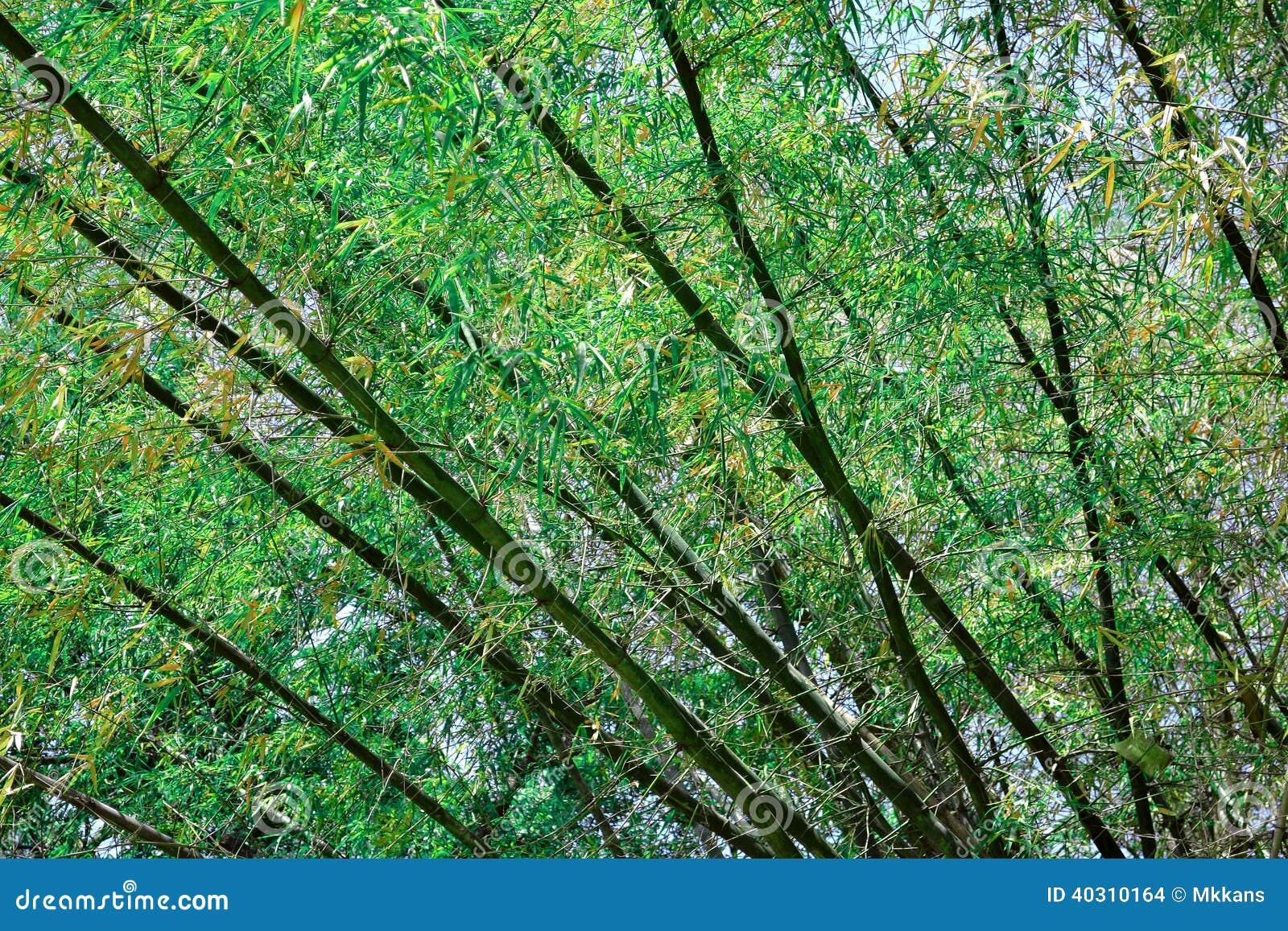 Bamboo tree stock photo. Image of green, taken, land - 40310164