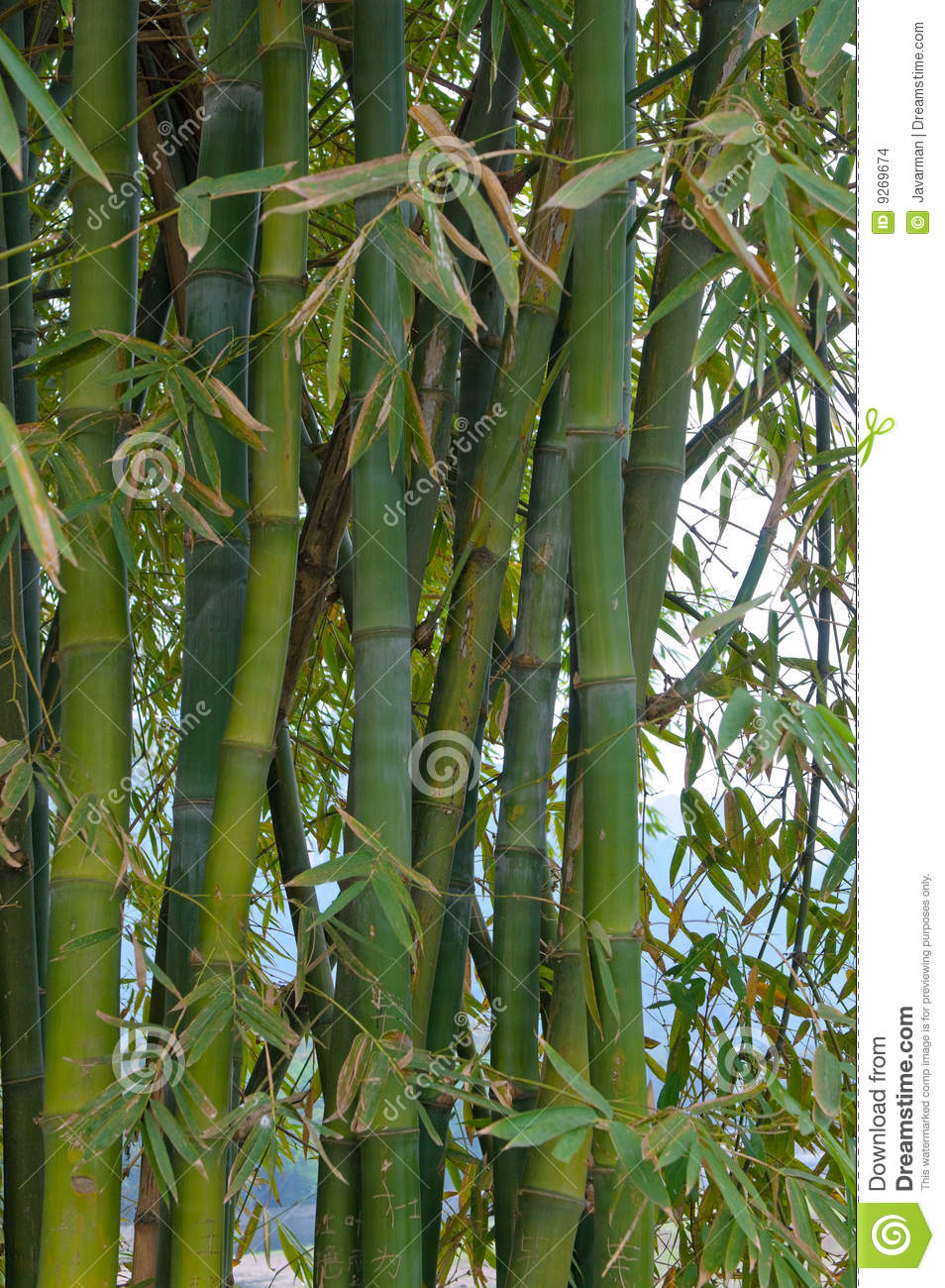 how to grow bamboo tree at home