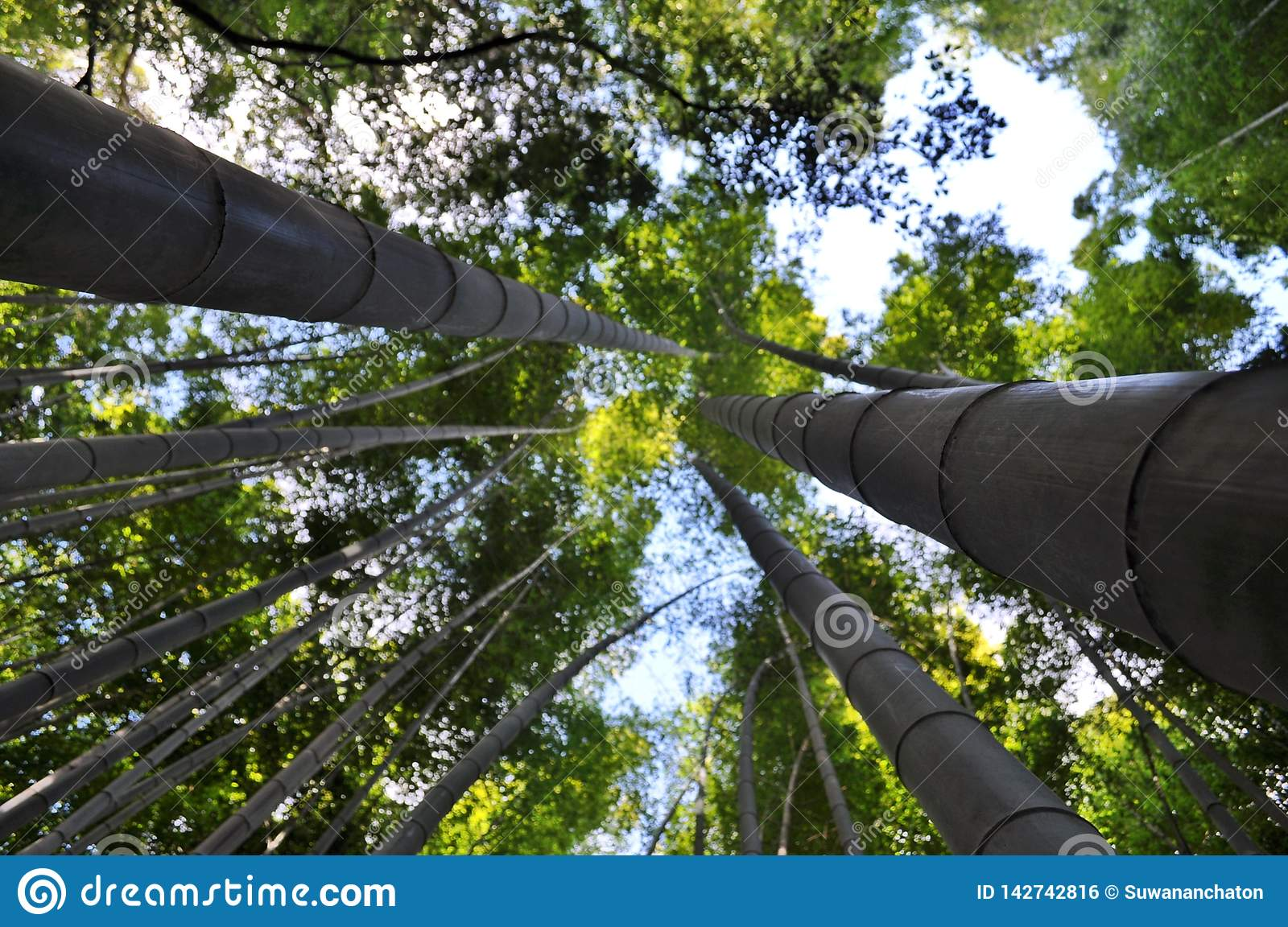 Bamboo trees in Kyoto, Japan