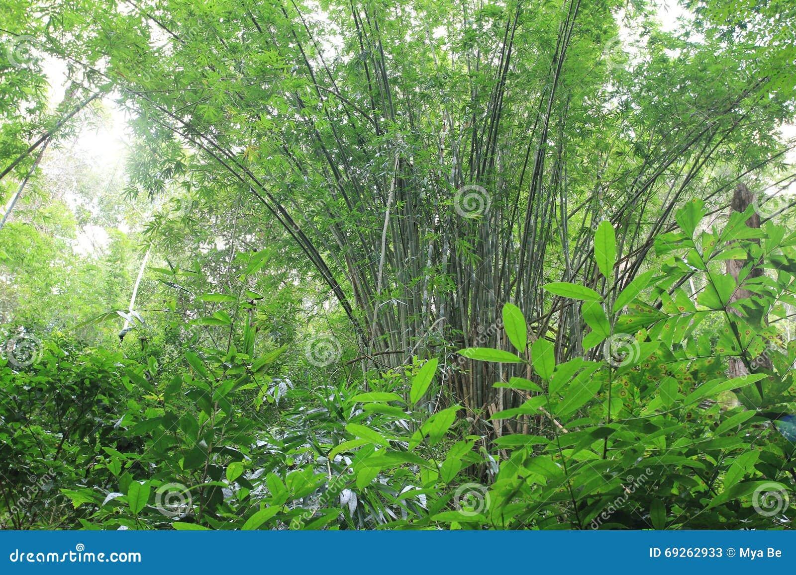 Bambou dans la forêt sauvage ensoleillée de jungle en Asie de l Est
