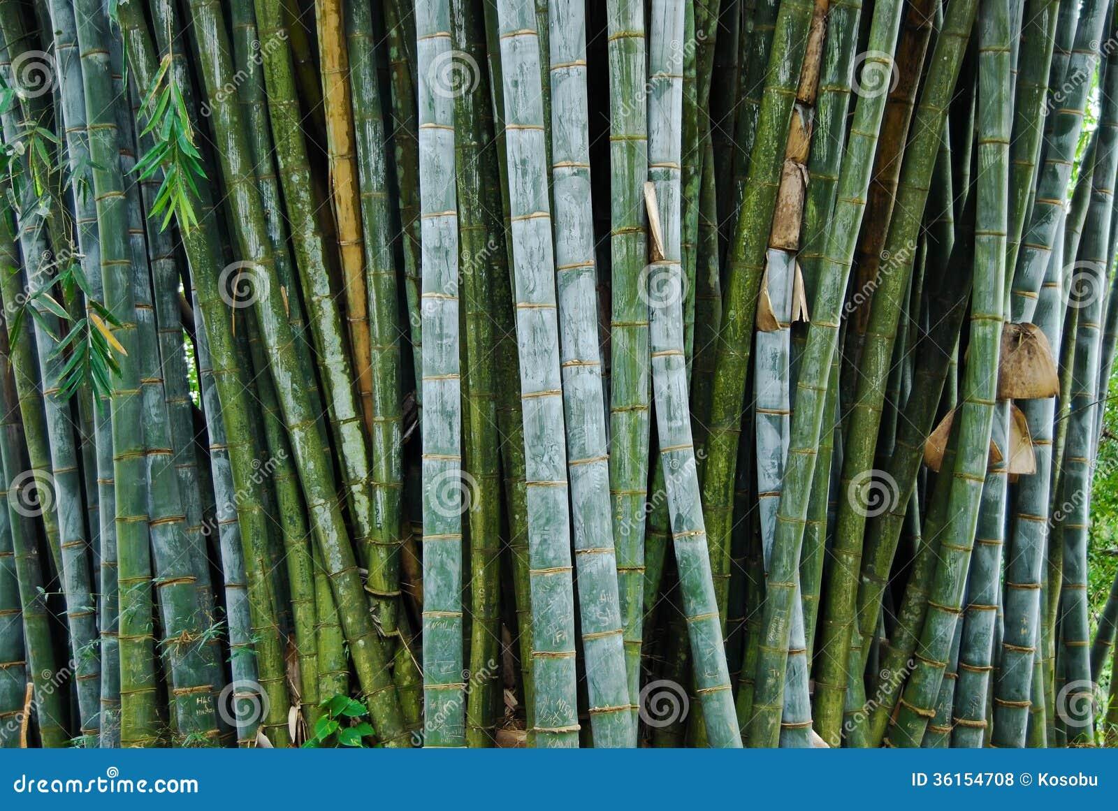 Bambou g ant dans les jardins botaniques royaux kandy for Bambou dans le jardin
